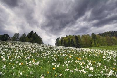 Daffodils at Plavški Rovt - May 5, 2012