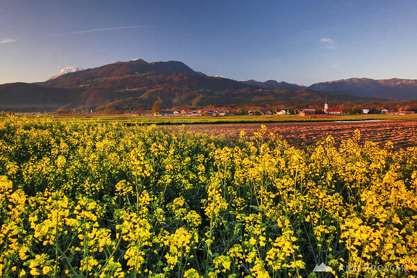 Oilseed rape fields below Mt. Krvavec