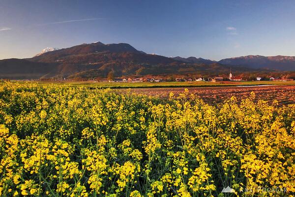 Oilseed rape fields below Mt. Krvavec