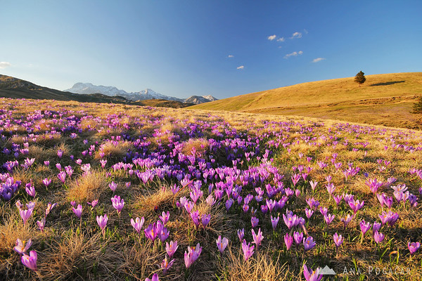 More crocuses on Velika planina