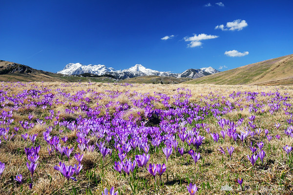 A carpet of crocuses and the snow-capped Kamnik Alps