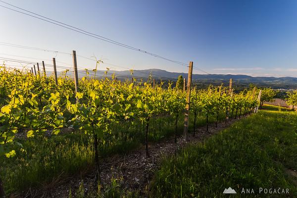 Vineyards on Trška gora hill