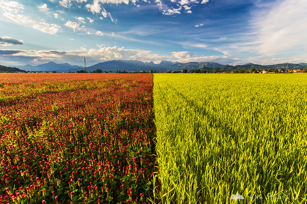 Colorful fields of wheat, clover and poppy around Mengeš