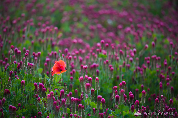 Poppy in a clover field