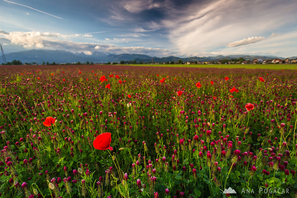 Poppies in a clover field