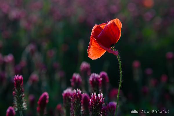 Poppy in a clover field