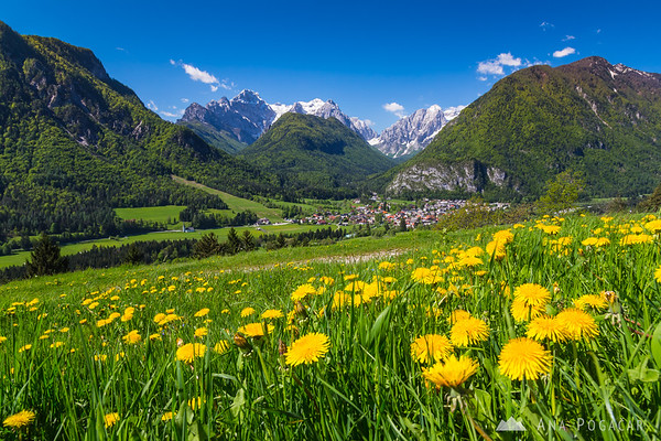 Dandelions above Dovje with a view of Vrata valley and Mt. Triglav