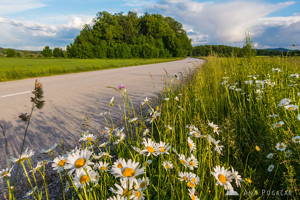 Daisies by the side of the road
