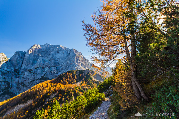 Golden larches at Vršič pass