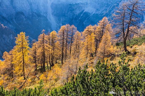 Golden larches on Mt. Slemenova špica