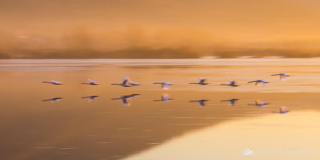 Sunrise at Lake Cerknica; swans in flight