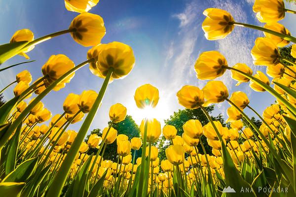 Yellow tulips, Arboretum Volčji Potok