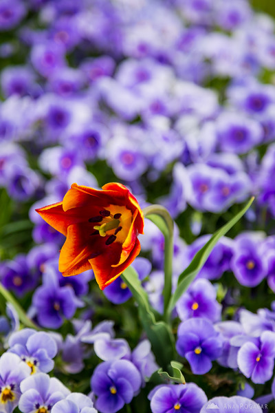 A tulip among pansies