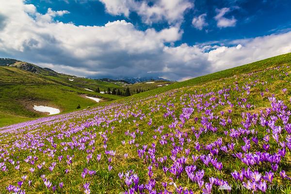 Crocuses in full bloom on Velika planina