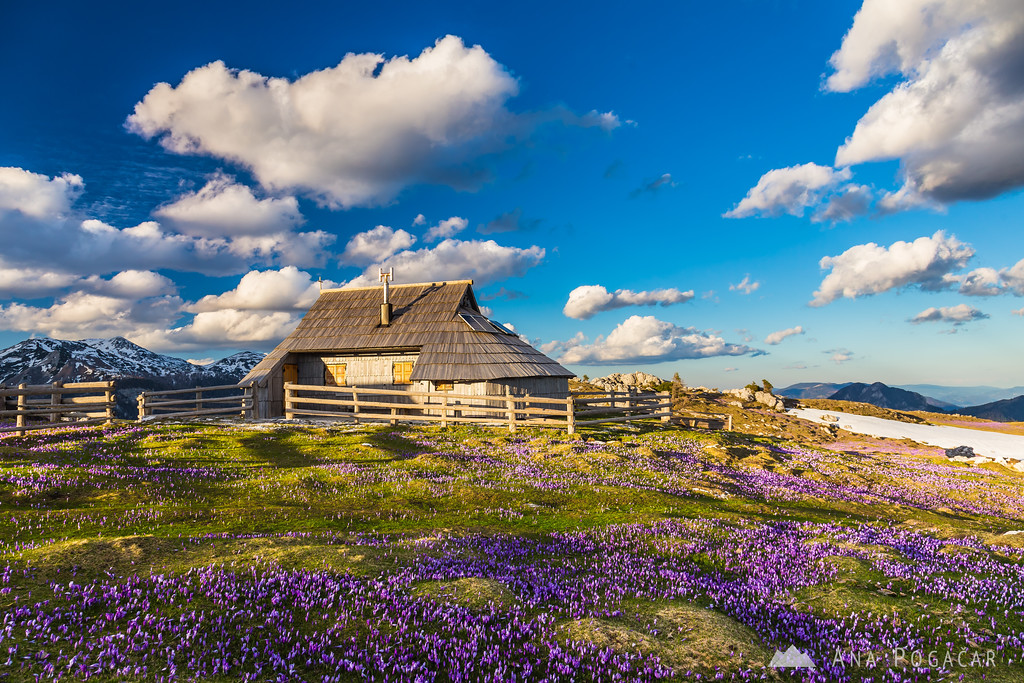 Crocuses on Velika planina