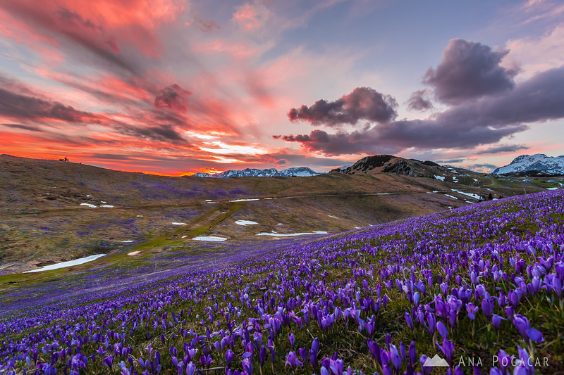 Crocuses on Velika planina after sunset