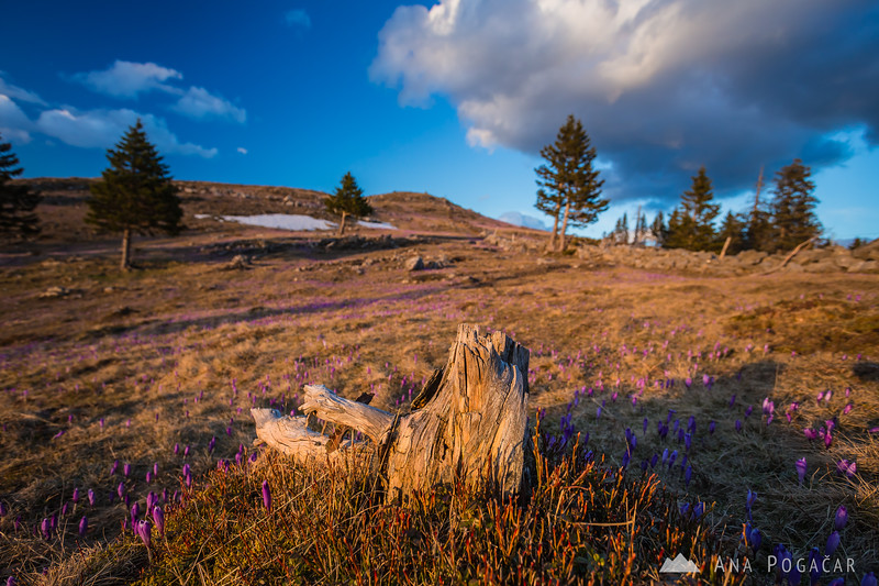 Crocuses on Velika planina at sunset