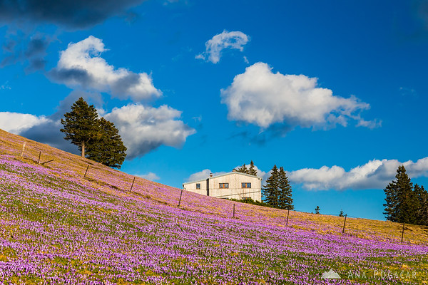 Domžalski dom hut and crocuses on Velika planina