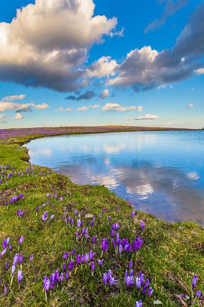 Crocuses around a pond on Velika planina