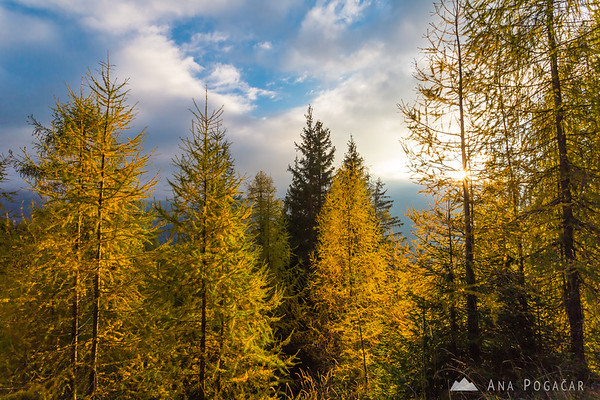 Golden larches in the Julian Alps