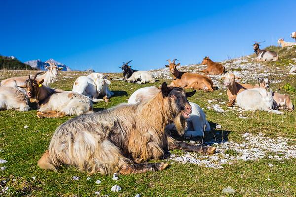 Goats on Vogel mountain above Lake Bohinj