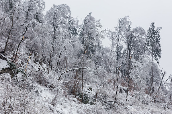 After the ice and snow storm in Kamnik: fallen trees on the slopes of Stari grad hill