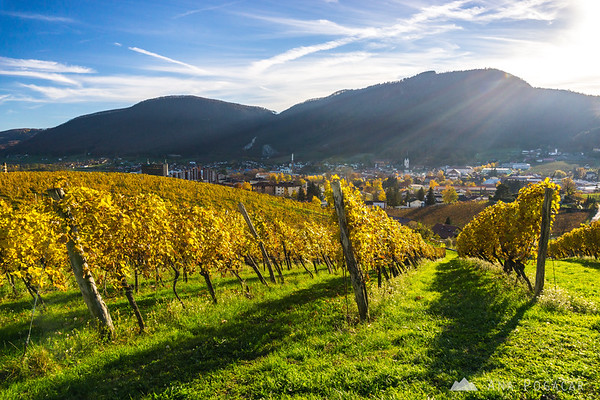 Fall colors in the vineyards of Zlati grič near Slovenske Konjice on a warm November day