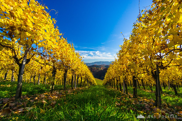 Around Heart in the Vineyard, Slovenske gorice region