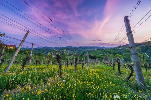 Sunset in Kozjansko vineyards
