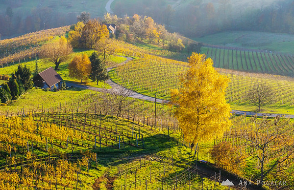 Vineyards in the late afternoon light, Slovenske gorice region