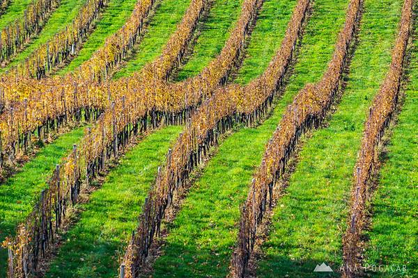 Vineyards in the Slovenske gorice region
