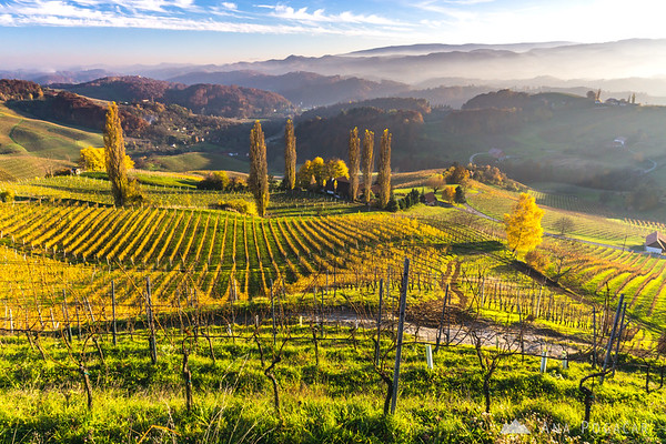 Vineyards in the late afternoon light, Slovenske gorice region