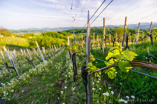 Late afternoon in Kozjansko vineyards