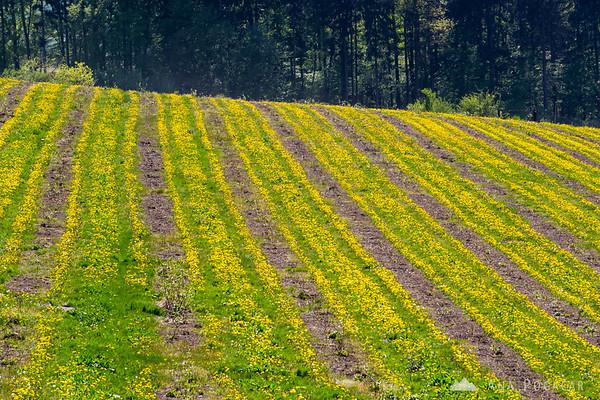 Rapeseed fields, Kozjansko