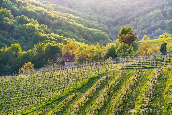 Late afternoon in Kozjansko vineyards