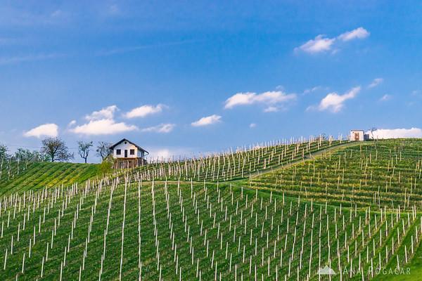 Vineyards in the Kozjansko region