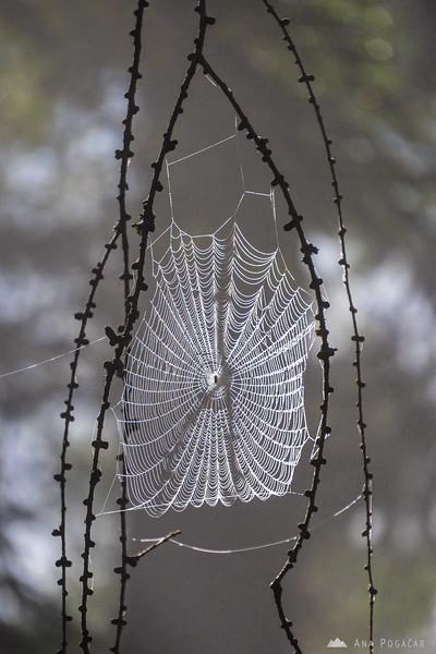 Spider web in the forests above Kranjska Gora