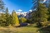 Larch trees at Vršič Pass