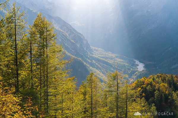 Larch trees below Vršič Pass