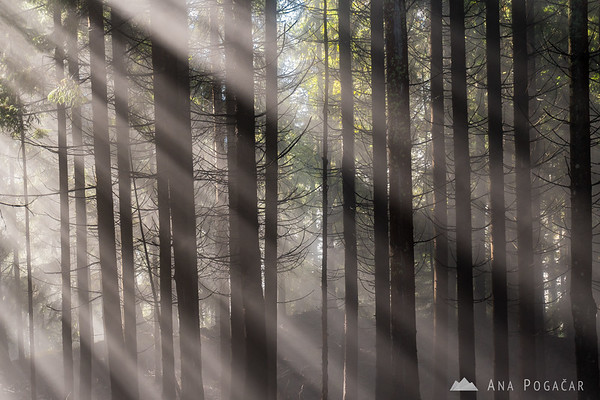 Sunbeams in the forests above Kranjska Gora