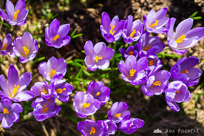 Crocuses on Mala planina in the morning light