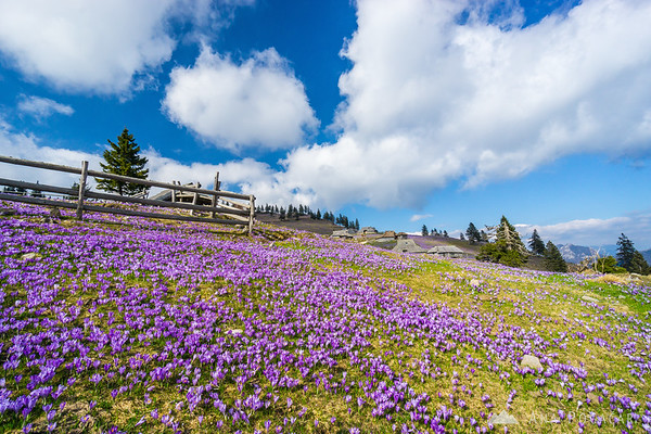 Crocuses on Gojška planina
