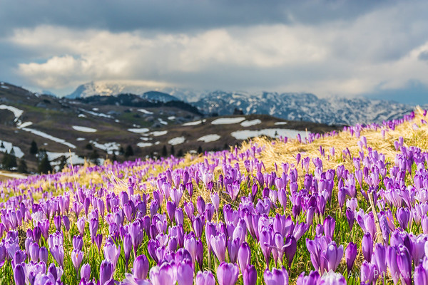 Crocuses on Velika planina with the chapel and Kamnik Alps in the background