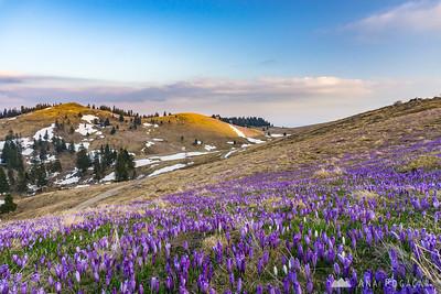 Crocus-clad slopes of Velika planina