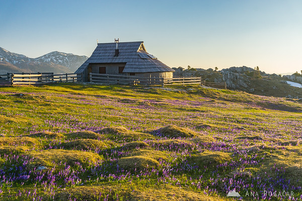 Crocuses on Velika planina in the morning light