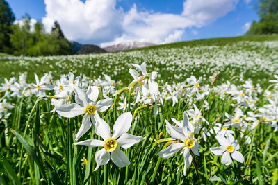 Daffodils at Plavški Rovt - May 7, 2016