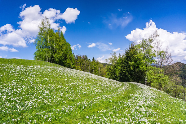 Daffodils in Plavški Rovt
