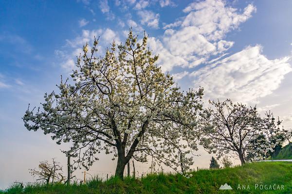 Blooming cherry trees in Goriška Brda, near Ceglo