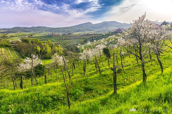 Blooming cherry trees in Goriška Brda, near Plešivo