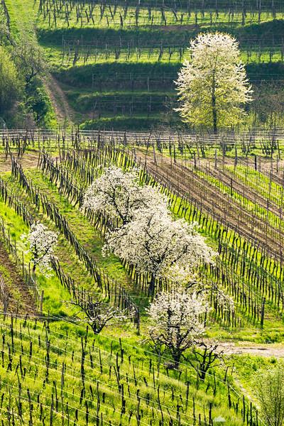 Blooming cherry trees in Goriška Brda, near Medana